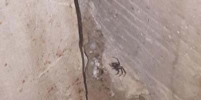 Помогите определить паука! Боюсь, что черная вдова...