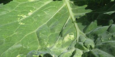 Желтые пятна на листьях капусты. В чем причина?