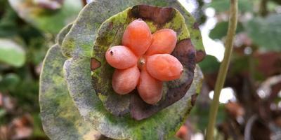 Что это за ягоды?