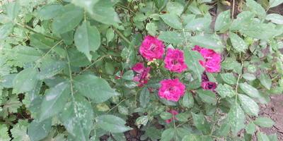 Что с листиками мелкоцветковой розы? Как это вылечить?