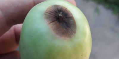 Помогите определить, что с помидорами? И как их вылечить?