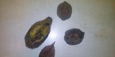 Какому растению принадлежат эти плоды?