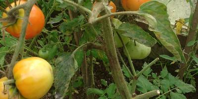 Помогите вылечить томаты народными методами