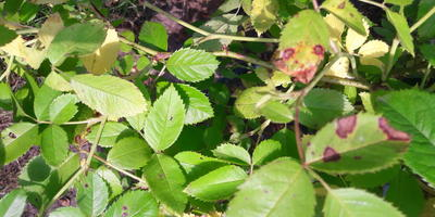Черные пятна на листьях и стеблях розы. Что это и как с этим бороться?