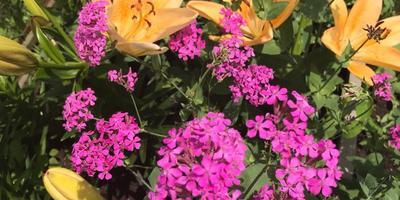 Как называются эти розовые цветы?