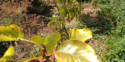 Груши желтеют, как будто сохнут, на листьях колоновидной груши черные пятна. Что делать?