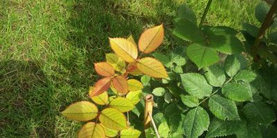Что означает, когда у роз появляется такой окрас листьев?