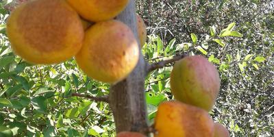 Почему вянут плоды абрикоса при созревании? Как это можно вылечить?