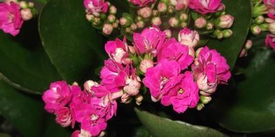 Подскажите, пожалуйста, как называется этот цветок