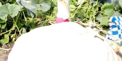 Растим в Луховицком районе Московской области гигантскую тыкву. Оцените результаты