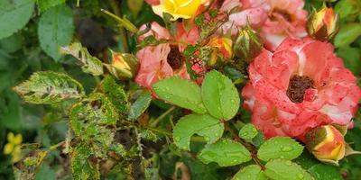 Чем болеет роза и что предпринять?
