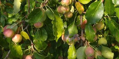 Что это за плоды и что с ними делают?