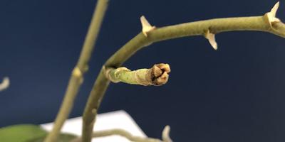 Листья фаленопсиса появляются, но маленькие и деформированные. Также на листьях и цветоносах появились прозрачные, липкие капли. Как их вылечить?