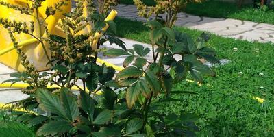 Почему не цветет астильба?