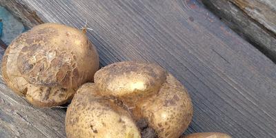 Подскажите, пожалуйста, почему такой картофель?