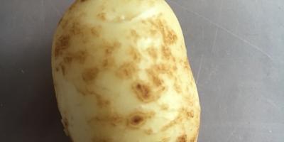 Можно ли оставлять на семена такой картофель?