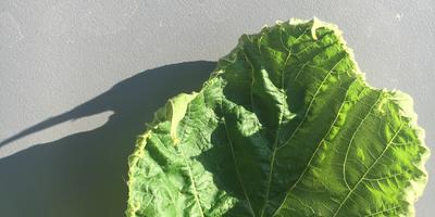 Помогите определить заболевание винограда