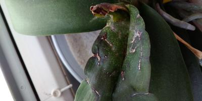 Что это на листьях орхидеи?