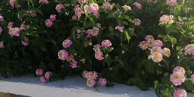 Это цветок или кустарник? Реально его вырастить в Подмосковье?