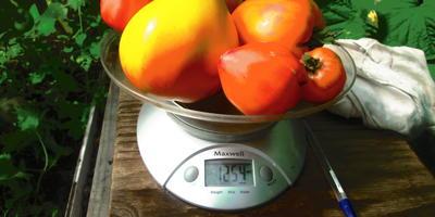 Продолжается сбор урожая томатов Сокровище инков