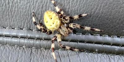 Помогите определить, что это за паук?