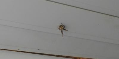 Что это за паук? Ядовит ли он?