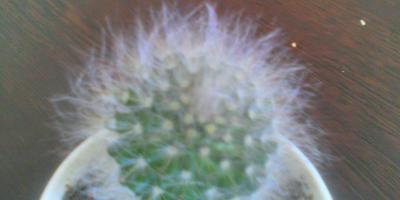 Что это за кактус и как за ним ухаживать?