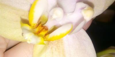 Петалии фаленопсиса выглядят странно. В чем причина?