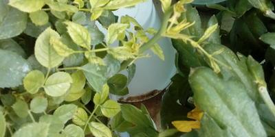 Почему у миниатюрной розы растут очень светлые и деформированные листочки?