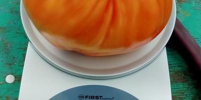 Самый крупный плод томата Сокровище инков