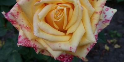 Что происходит с бутоном розы? Она чем-то заболела?