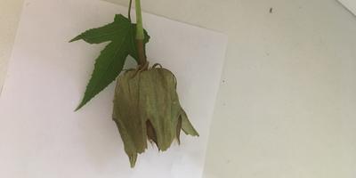 К какому растению относится эта коробочка с семенами? Как и когда сажать?