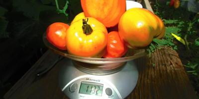Вес томатов с куста 1. Хочется назвать их Розовые щечки
