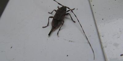 Подскажите, пожалуйста, что это за жук?