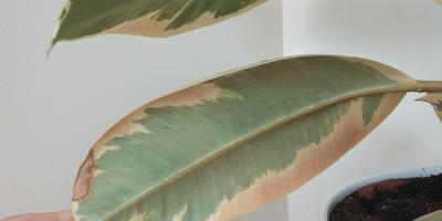 Почему у фикуса начали темнеть нижние листочки по краям?
