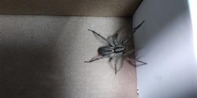 Помогите определить, что за паук?
