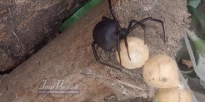 Подскажите, что это за паук?