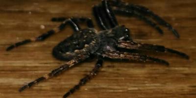 Помогите определить вид паука, укусил, страшно как-то...