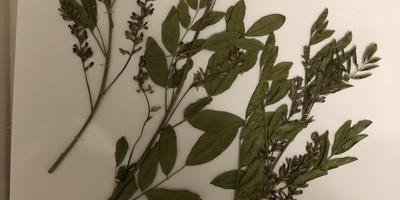 Помогите, пожалуйста, определить растения