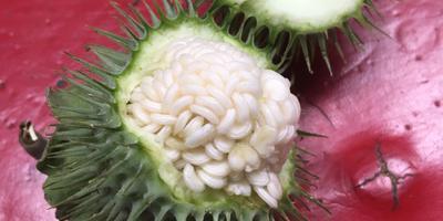 Пригодны ли такие семена дурмана для посадки?