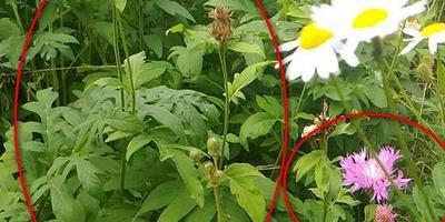 Что за растение и как от него избавиться?