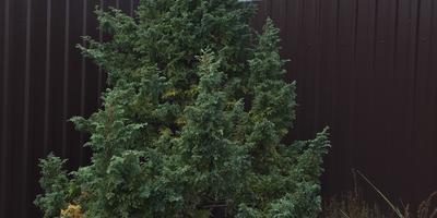 Помогите определить заболевание хвойного растения