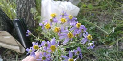 Подскажите название этого полевого цветка!
