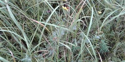 Подскажите, что это за растение? Как цикорий, только желтый