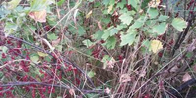 Помогите определить вредителя красной смородины. Как с ним бороться?