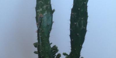 Подскажите название кактуса и как за ним ухаживать