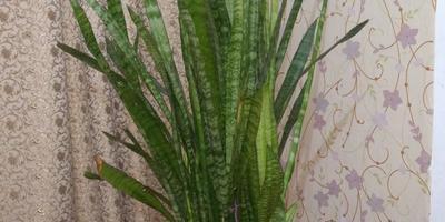 Желтеют листья сансевиерии. Помогите спасти