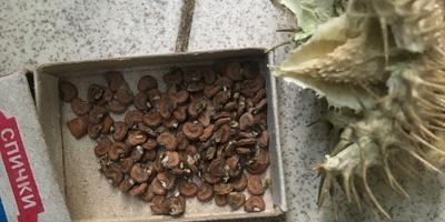 Пригодны ли эти семена дурмана для посадки?
