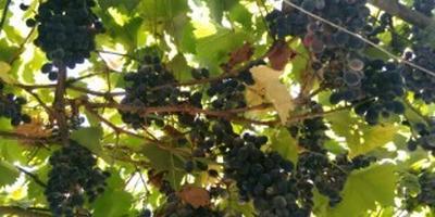 Чем болеет виноград?