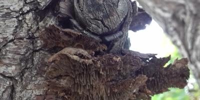 На иве выросли два вида грибов. Это болезнь дерева? Как это лечить?